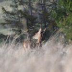 Cerfs / Biches