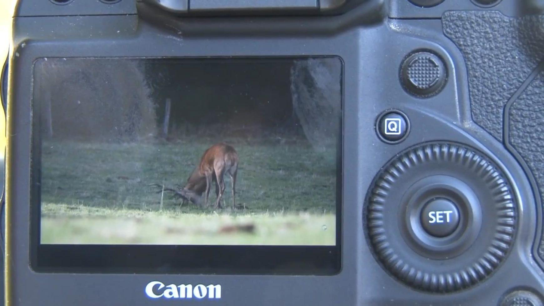 Le brame du cerf attire de nombreux photographes dans le Cantal